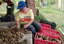Potato Cultivators Take Strong Steps to Develop Field Productivity