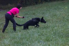 Donna Murray and her Black German Shepherd Laelia, eager to take off at the start flag to earn her TD. This photo was taken at the German Shepherd Tracking Test held in fall 2013 at Fair Hill, MD. Diane Reich is an Oriole member; Nancy Skinner, an Oriole member, was the Chief Tracklayer, and a number of Oriole students and instructors were there as working volunteers. As is the case in the local tracking community, members of the German Shepherd Club came to help with the 2014 Oriole Tracking Test also at Fair Hill.