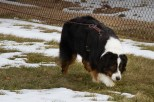 Joyce Lily's Australian Shepherd, Captain tracking in the Oriole Variable Surface Tracking class