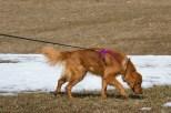 Jean Farney's Golden Retriever Molly, tracking in Kristi Eisenberg's Intermediate Beginning Tracking Class