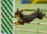 Oriole member Monique Bocock and Kahlani made the Top 5 list for Entlebucher Mountain Dogs for the 2014 AKC Agility Invitational held Dec 12-14, 2014 in Orlando, FL. Good job !