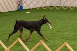 "German Pinscher ""Indy"" correctly fetches the indicated glove from a line of identical gloves for her owner Debbie Kaminski.   Indy went on to successfully complete all the remaining tasks to secure her Utility Dog (UD) title at the May 2015 Oriole AKC Obedience Trial.  Photo credit to Carl Gernazio."