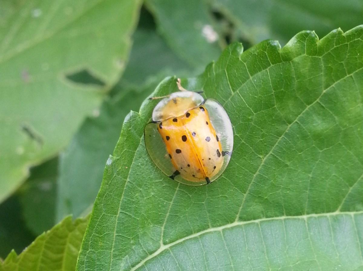這是透明小瓢蟲嗎?