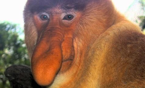 O Macaco-narigudo vive em mangues em Bernéu, uma ilha da Ásia. Na época de acasalamento, ele emite um som com seu nariz grande e flexível. Porém, essa espécie corre risco de extinção.