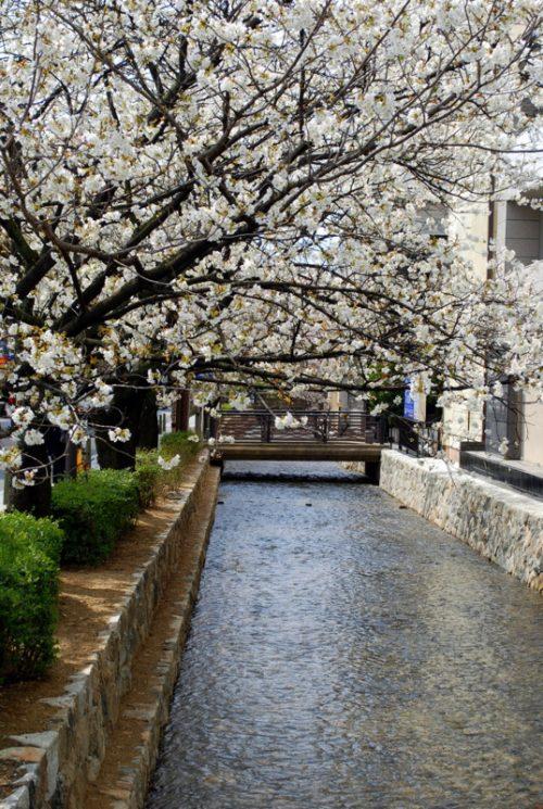 Kyoto: ciliegi in fiore a Kiyamachi