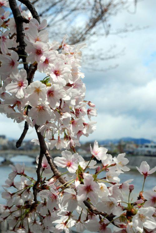 Kyoto: ciliegi lungo il Kamogawa