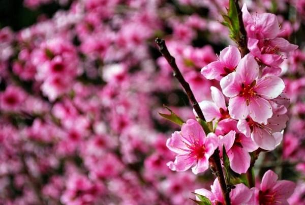 Ciliegi in fiore a Kyoto