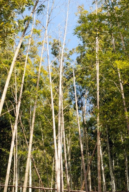 La foresta di bambù di Arashiyama (foto di Patrick Colgan, 2016)