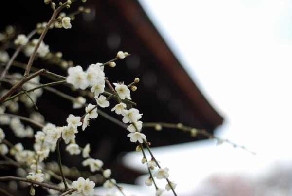 Tenryu-ji, apricots in bloom