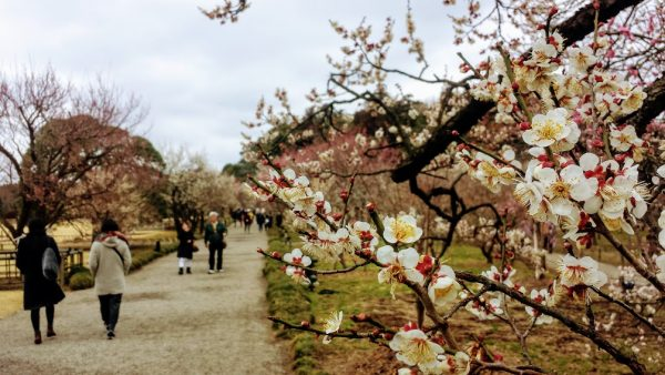 Among the plum blossoms in Mito, Japan