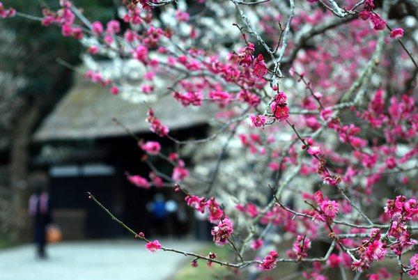 Fioritura dei prugni in Giappone: il Kairakuen di Mito