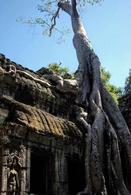 Un albero avvinghiato al Ta Prohm