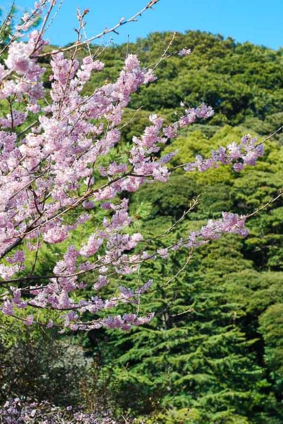 Prugni in fiore a marzo, Kyushu