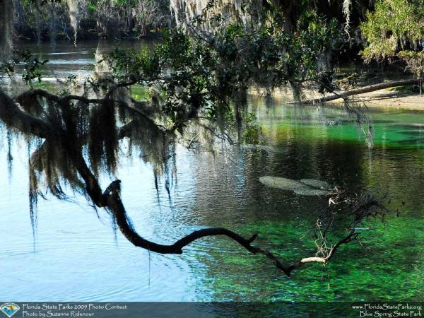 Central Florida Springs: image of manatees at Blue Spring State Park