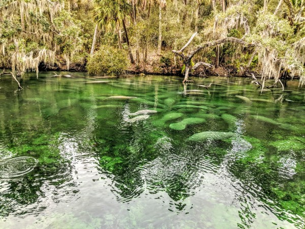 Where to see manatees: image of Manatees swimming at Blue Spring Park
