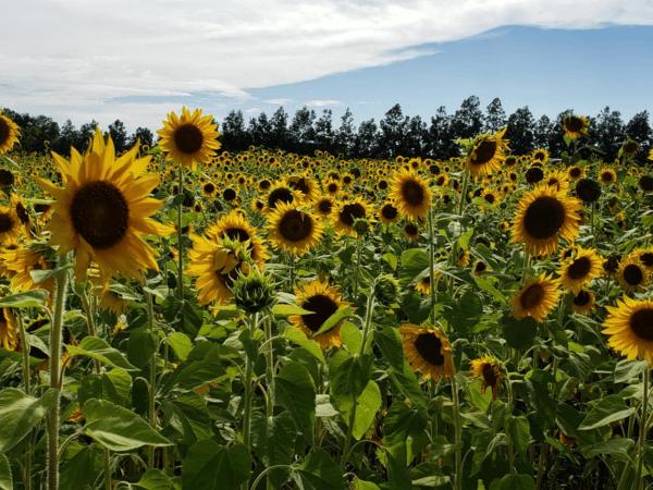 Sunflower fields Orlando: image of Graham Farms sunflower field