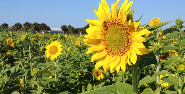 You-pick sunflowers near Orlando: image of big sunflower at Sledd's U-Pick Farm in Mims, Florida