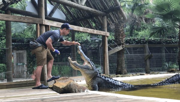 Things to do Orlando: image of huge alligator and man feeding the alligator at Wild Florida attraction near Orlando