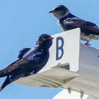 Purple Martins Return to Walt Disney World