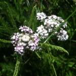 Yarrow | Achillea millefolium | Dr. Orna Izakson | flower essence therapy | what are flower essences | wellness consultant | flower essences for boundaries