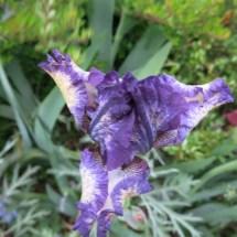 Irisblüte Laafeld 006