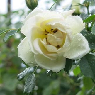 Irisblüte Laafeld 023