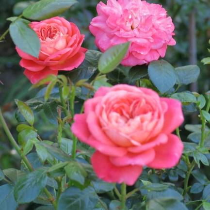 Rosengarten Laafeld 099