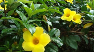 Allamanda-cathartica, Alamanda, copa de oro, flores de mantequilla, trompeta de oro, trompeta amarilla