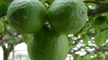 Citrus aurantifolia nombre científico del limón