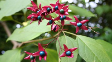 Clerodendrum trichotomum, Árbol del destino, clerodendrum, clerodendro