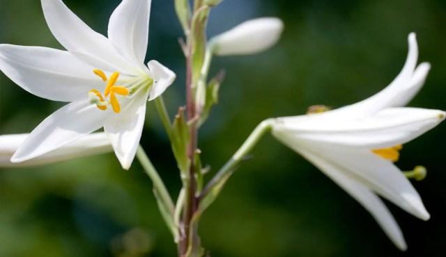 Lilium candicum