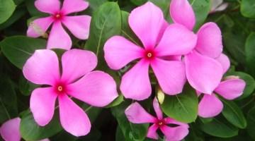 Catharanthus roseus Chavelita, chabelita, planta teresita, vinca rosea, isabelita, vinca del Cabo, vinca rosa, vinca rosada
