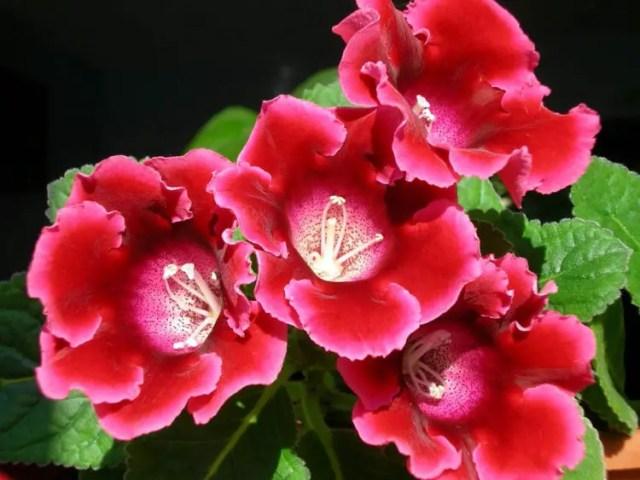 La gloxinia es una herbácea perenne originaria de las zonas amazónicas de Brasil de hojas bellamente aterciopeladas que luce unas flores atrompetadas de colores variados que van desde el blanco hasta el púrpura.
