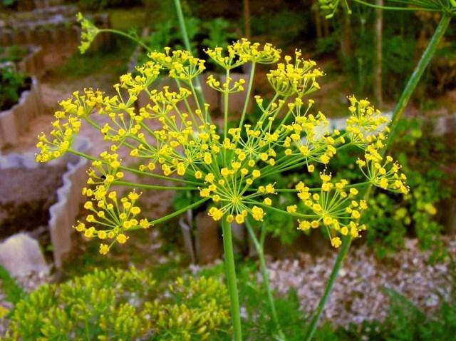 Plantas que repelen plagas e insectos naturalmente - Plantas ahuyenta insectos ...