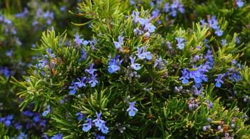 Plantas que repelen plagas e insectos naturalmente