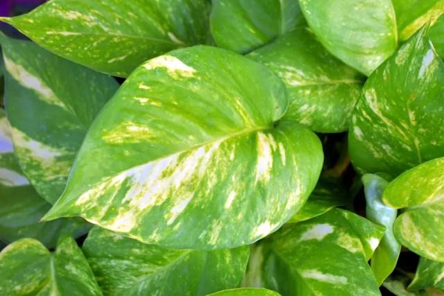 Peperomia planta de poca luz