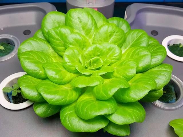 Plantas hidropónicas, arma una huerta hidropónica en casa
