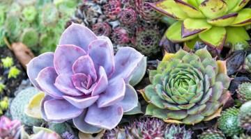 Cómo cuidar las plantas suculentas