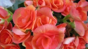 Cómo cuidar las begonias