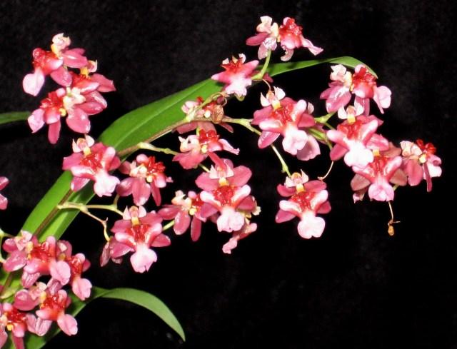 Oncidium orquidea flor