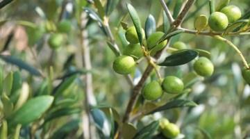 Árbol de Olivo con frutos