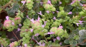 Origanum dictamnus, orégano de Creta