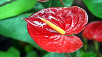 Cómo cuidar los anturios para que florezcan