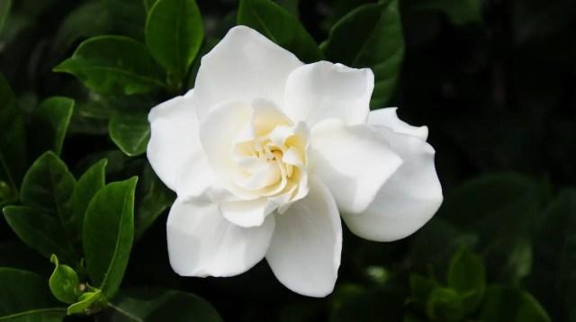 Gardenia para regalar