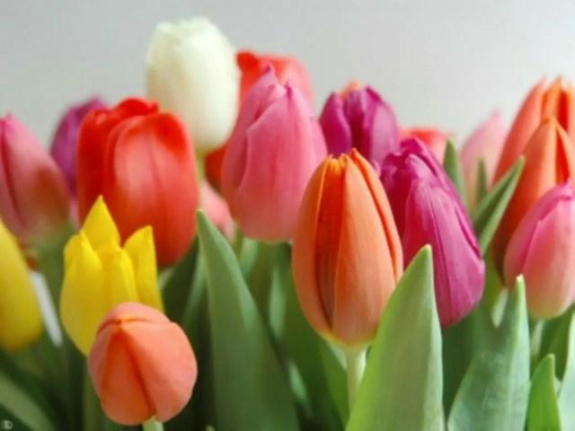 Tulipanes ramos de flores regalar