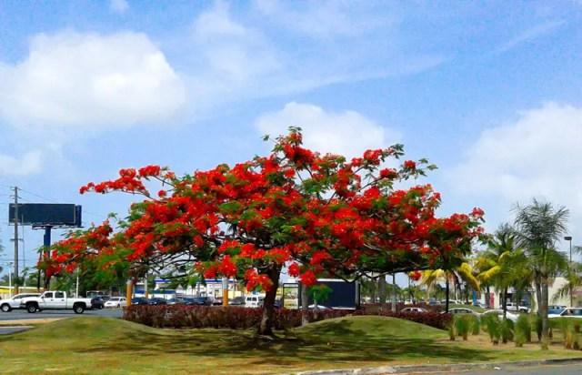 Flamboyan, los mejores árboles de sombra