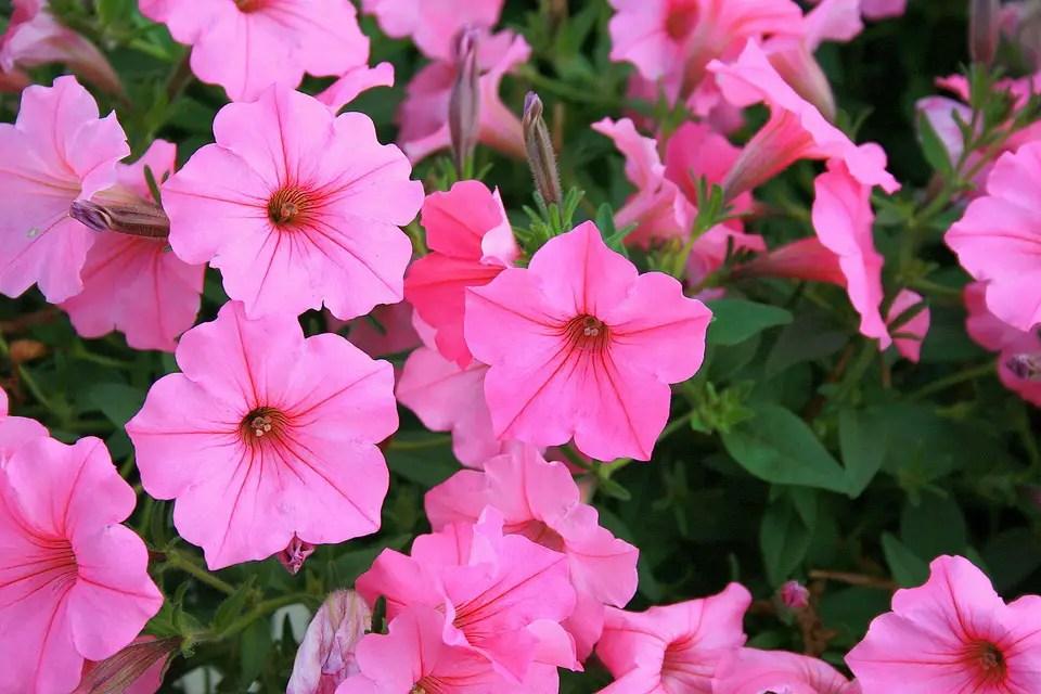 Plantas anuales ornamentales