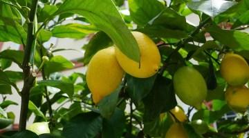 Poda del limonero y otros cítricos