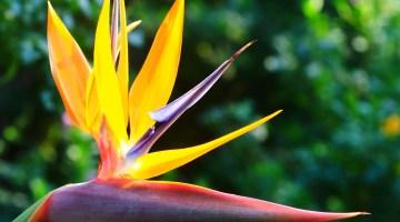 Cultivo y cuidados de la Strelitzia o Ave del Paraíso