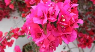 Por qué no florece la Santa Rita o buganvilla
